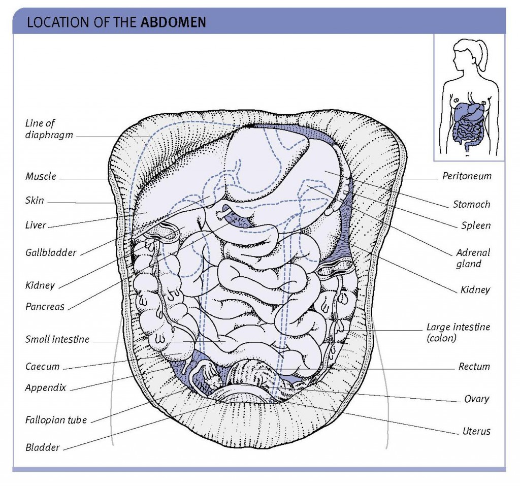 abdomen structure and location